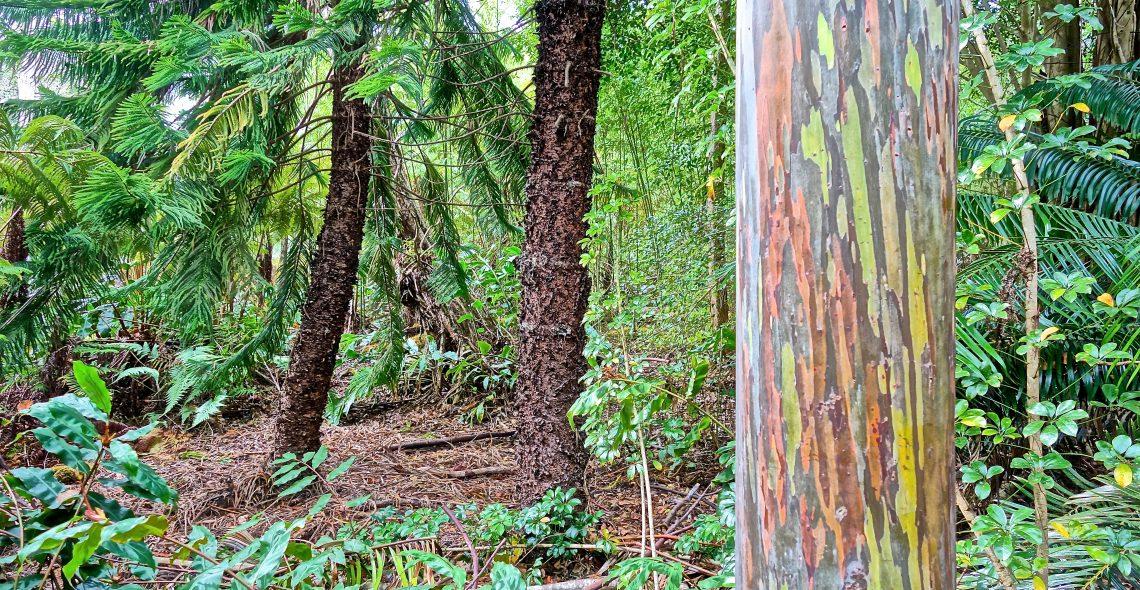 Rainbow Eucalyptus / Cloud Forest Sanctuary